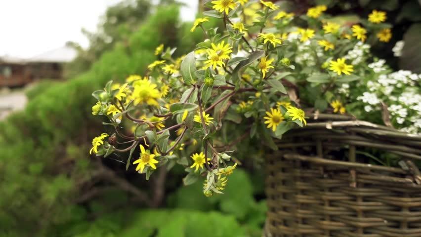 Top Chrysanthemum Indicum is a Flowering Stock Footage Video (100 #RP_64