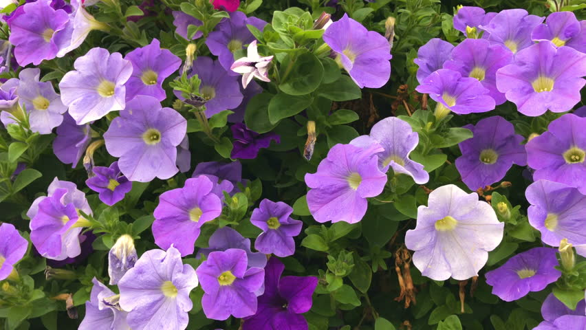 Purple, violet petunias hybrida flowers plant blooming in the garden in basket during spring, as floral beauty in nature background video
