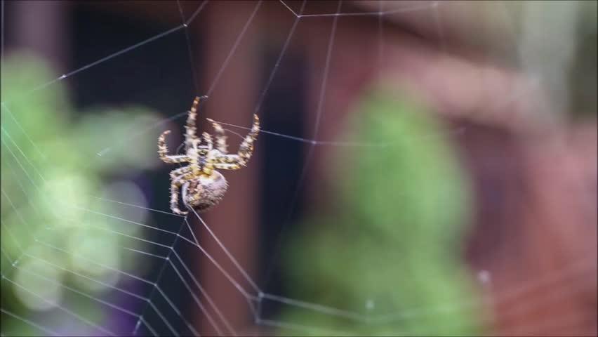 European Garden Spider spinning her web