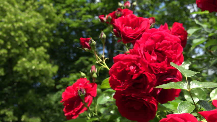 Video Stock A Tema Beautiful Red Rose Flower Blooms 100 Royalty Free 20635000 Shutterstock