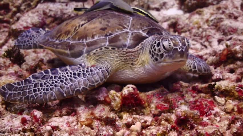 Green Turtle | Shutterstock HD Video #20639653