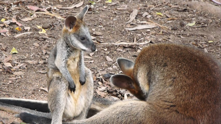 a swamp wallaby joey cleans itself