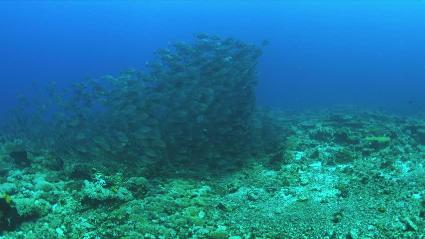 School of Blue Trevallies on a coral reef.  Carangidae - Carangoides ferdau, 4k footage