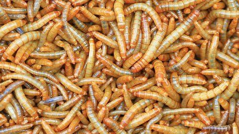 Worms, Meal worms is the common name for the larvae of the beetle Tenebrio molitor