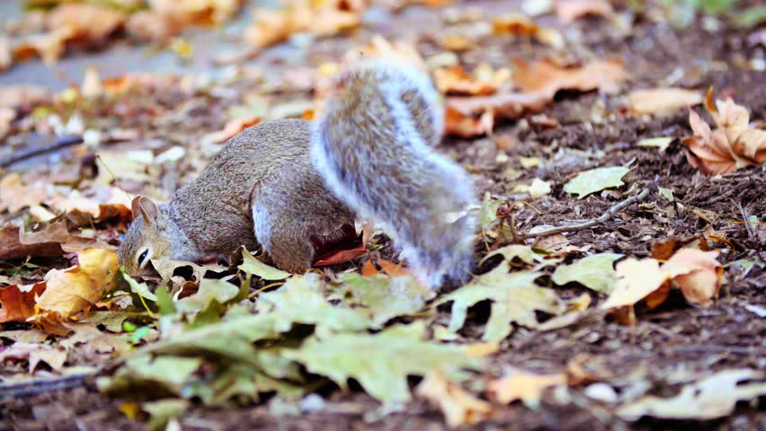Squirrel Looks and Finds Acorn Nut in Leaves