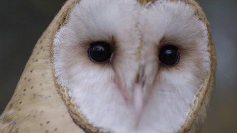 [Barn owl moving head side to side front view]Barn owl moving head side to side front view