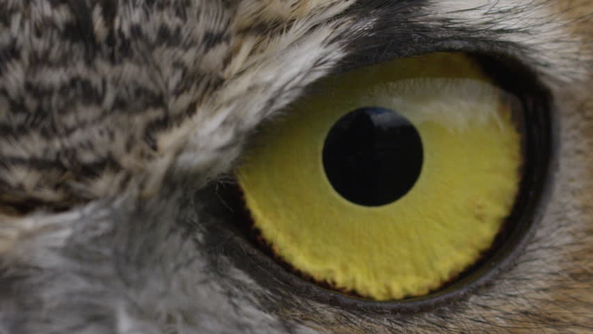 [Horned Owl Close up slow blink eye]Horned Owl Close up slow blink eye #20840020