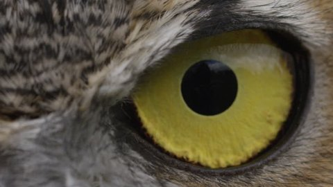 [Horned Owl Close up slow blink eye]Horned Owl Close up slow blink eye