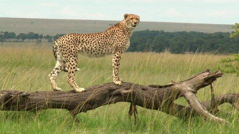 Cheetah (Acinonyx jubatus) balancing on a dead fallen tree to look in the distance