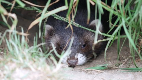 Polecat Kit Looking out of Hole