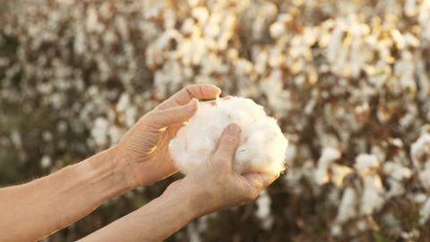 Woman in beautiful, blooming cotton field, evaluates crop, before harvest, under a golden sunset