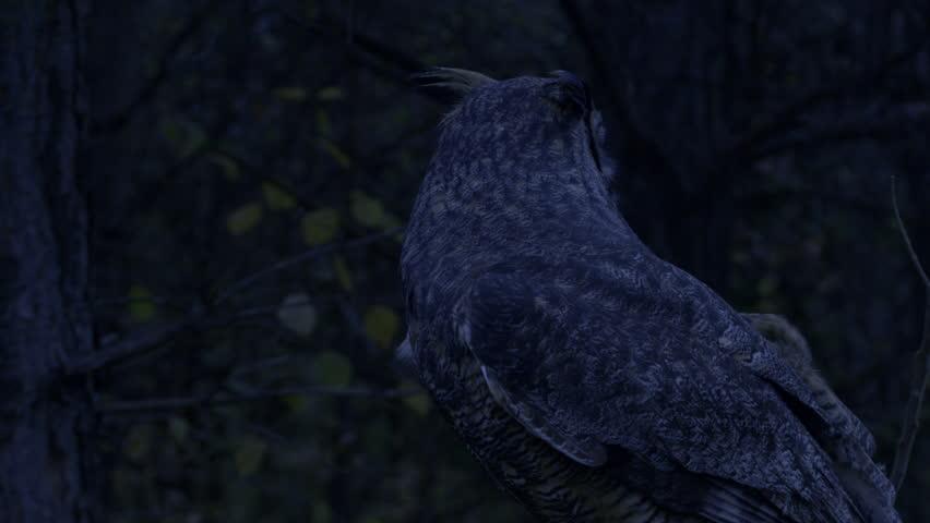 Great horned owl night time predator