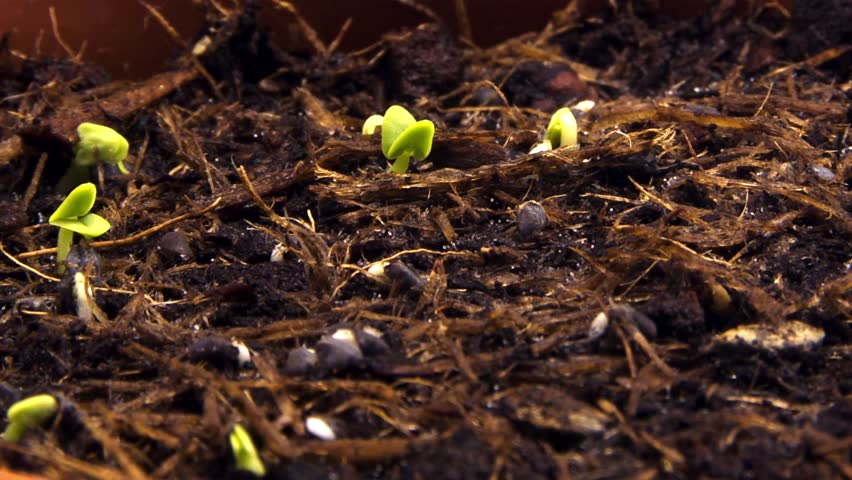 sprouting shoots and grass timelapse