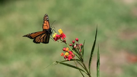 Monarch Butterfly Lands Softly on Milkweed Plant Super Slow Motion