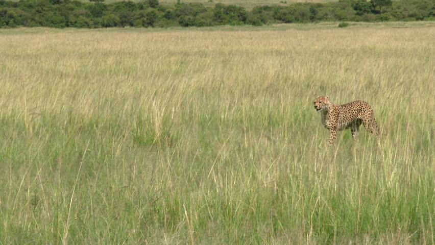 Cheetah (Acinonyx jubatus)walking through high grasses, Masai Mara