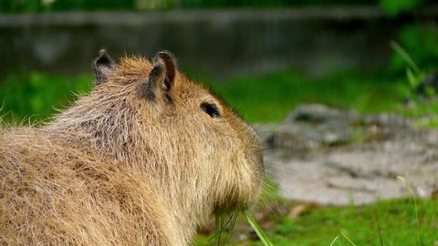 Capybara (Hydrochoerus hydrochaeris) is large rodent of genus Hydrochoerus of which only other extant member is the lesser capybara (Hydrochoerus isthmius). Capybara is largest rodent in world.