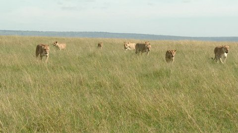 African Lion (Panthera leo) females walking towards camera in high grasses, looking impressive, lock shot.