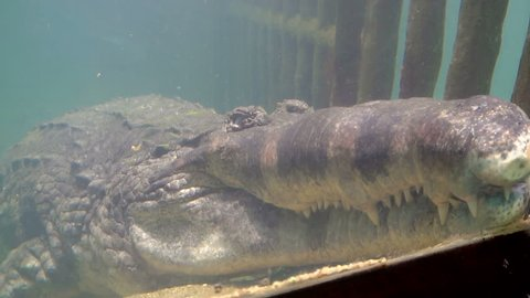 Portrait of giant crocodile sleeping in aquarium
