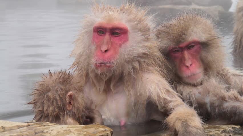 Snow monkey in Japan. It is a wild monkey that enters a hot spring. | Shutterstock HD Video #21325570