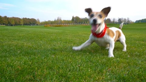 Adorable Agitated young pet excited, gambling playful dog waiting for a toy. Jumping running go away and back. Catching ball and missing it. Natural background.  slow motion video footage