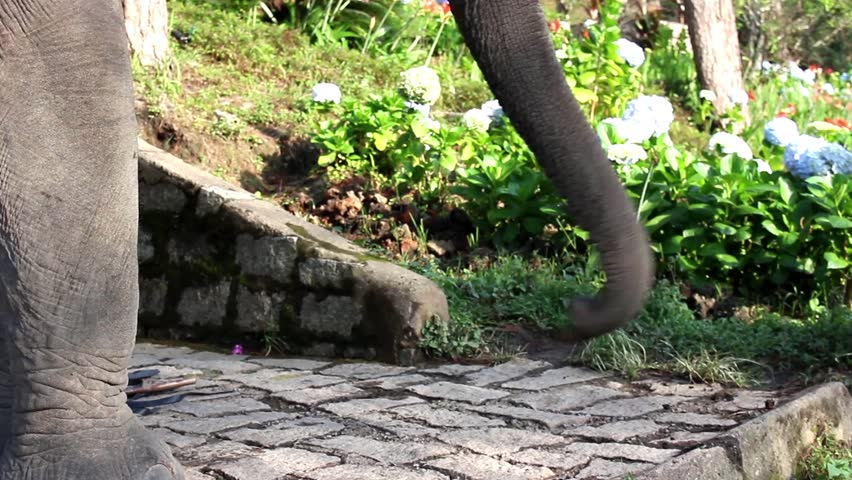 Excited Elephant Waving Trunk   HD Stock Footage Clip