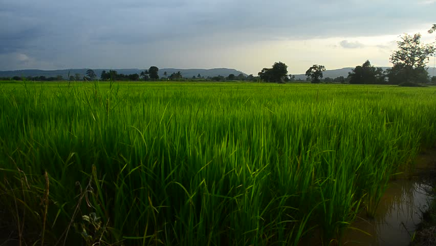 Fields, green rice, grains rice, mountain, blue sky, walkway on | Shutterstock HD Video #21477700