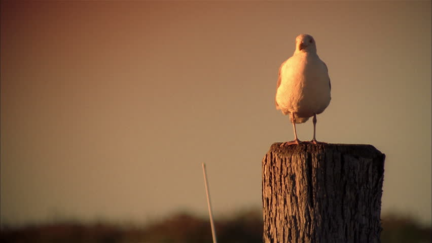Seagull standing on wooden post