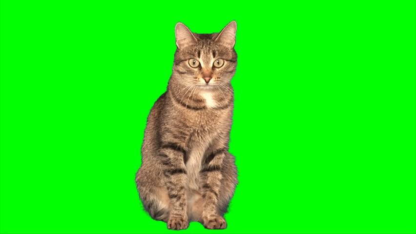 Grey stripy cat sits on green screen