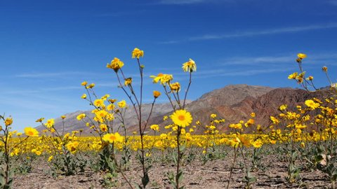 Dolly - Death Valley Desert Flower Super Bloom - Spring
