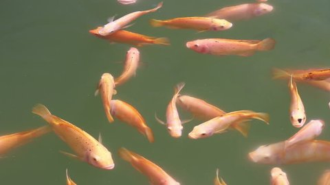 Golden Nile Tilapia Oreochromis niloticus float at the water surface