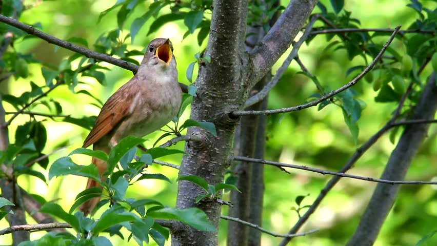 Singing nightingale. Song of thrush nightingale in spring. Bird on a tree.
