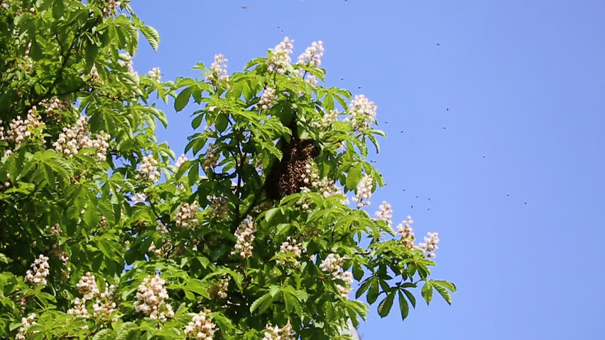 Chestnut Tree Chromakey Blooming Chestnut Swaying Branches