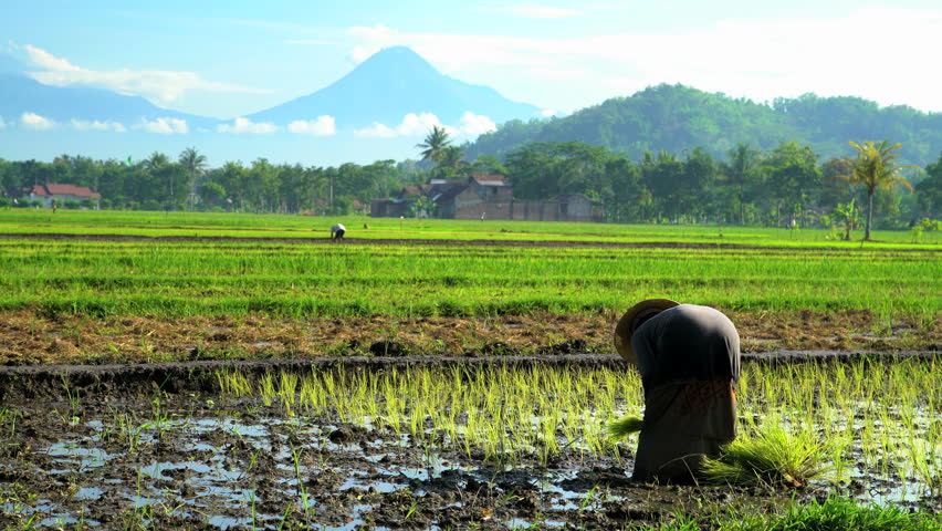 Traditional female farm worker in tropical rice fields near Mt Merapi volcano Java Indonesia South East Asia