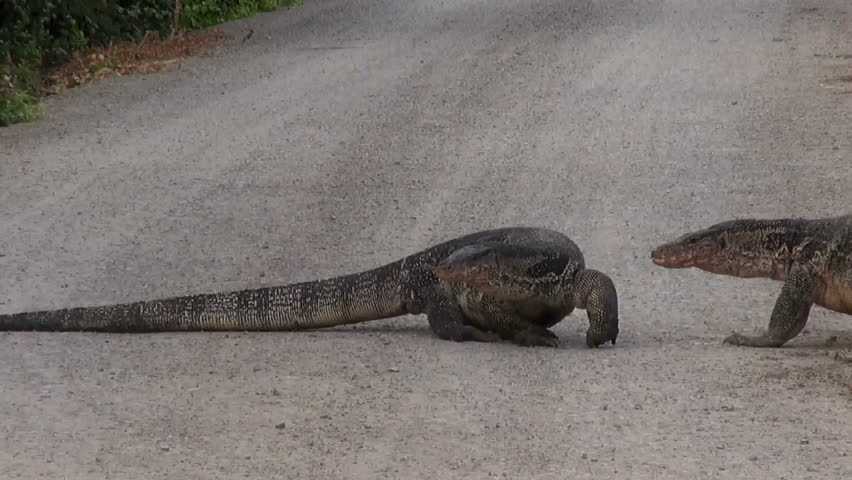 Two Asian Water Monitor lizards (Varanus salvator), are bloated due to the abundance of large fish to eat. They try to have a Territorial fight (or sex) but quickly give up and go their own ways.
