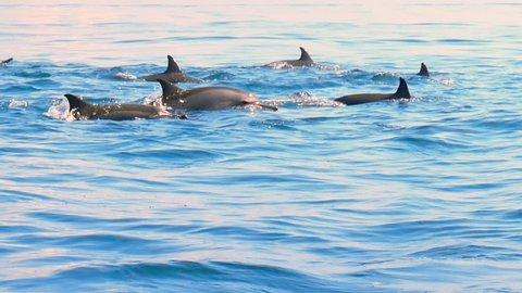 Group of wild dolphins swimming in open sea near coast of Sri Lanka