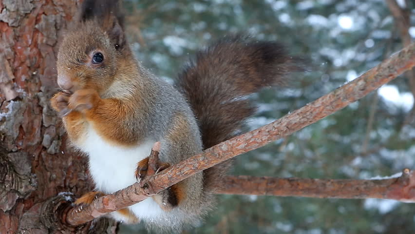 Squirrel sits on a branch and eats a nut