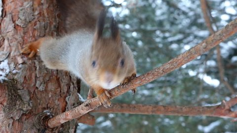 Squirrel jumps on a pine branch
