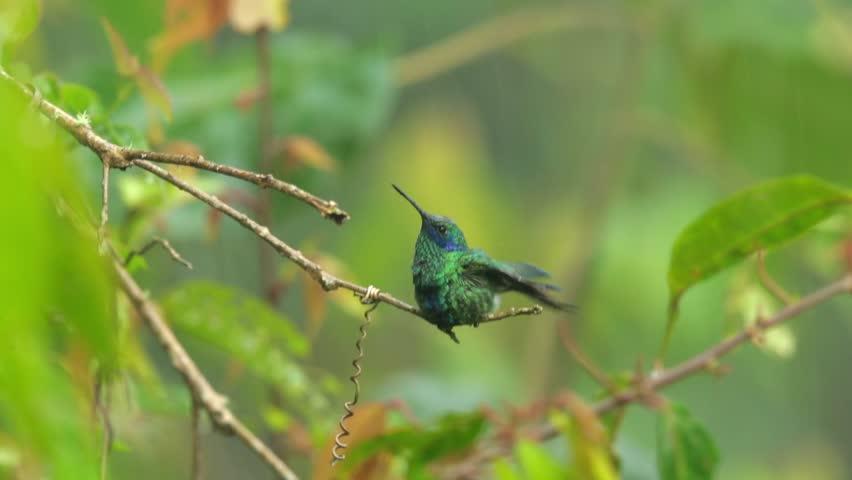 Colorful hummingbird, Colibri coruscans, Sparkling Violet-ear in tropical rain, taking a bath. Wild Sumaco area, Ecuador.