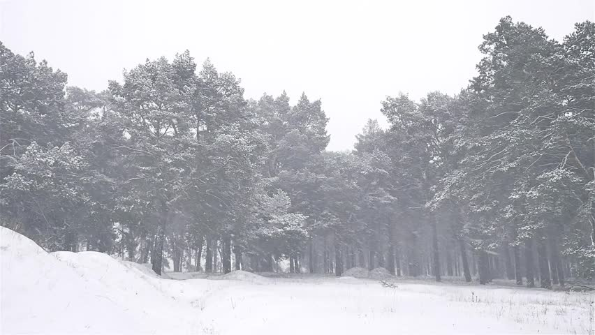Snowstorm Nature The Woods Blizzard Snowing Winter, Christmas Tree And Pine  Forest Landscape   HD