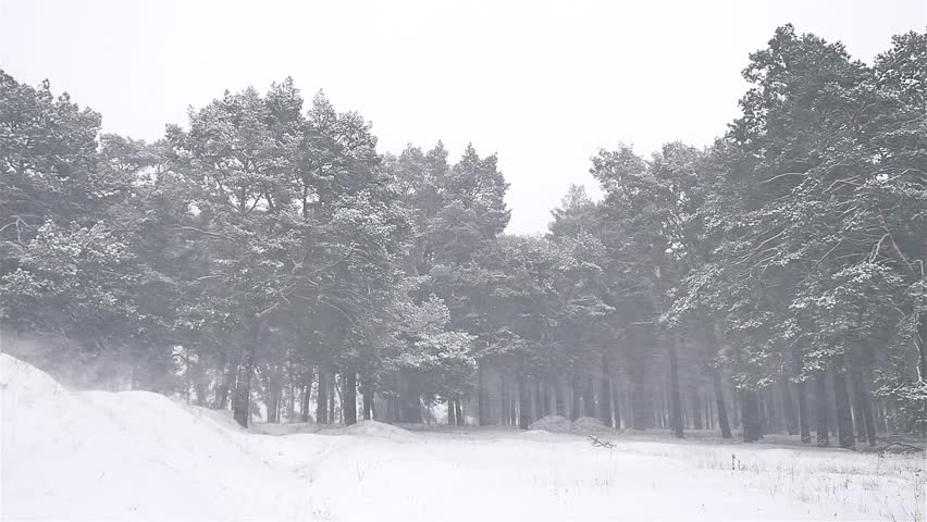 Delightful Nature Snowstorm The Woods Blizzard Snowing Winter, Christmas Tree And Pine  Forest Landscape   HD