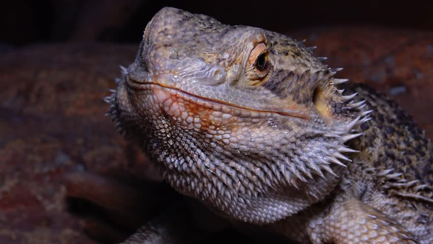 Header of Agamid Lizard