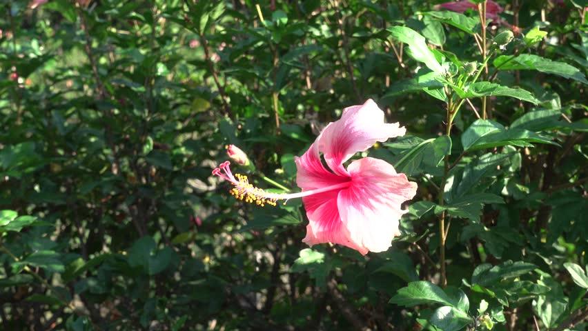 4K hibiscus flower | Shutterstock HD Video #22341280