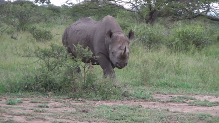Black rhino walks towards camera