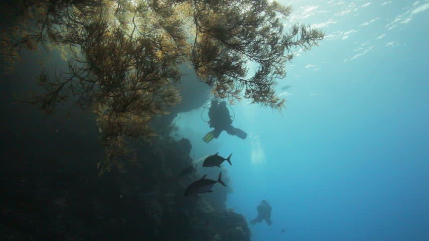 Divers swimming behind massive black coral | Shutterstock HD Video #2239720
