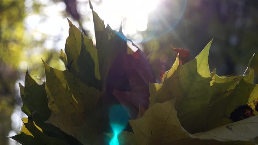 Leaves Kept by Woman`s Hands in Forest. Bright Sun Rays. | Shutterstock HD Video #22412740