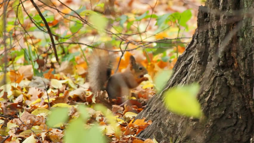 Squirrels frolic in the autumn forest, sequence