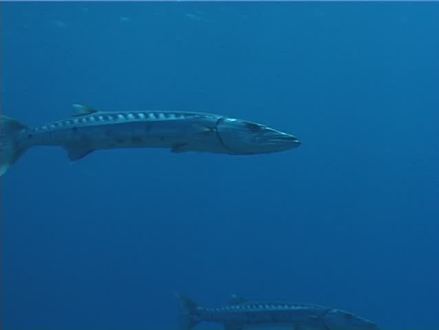 Great barracuda (Sphyraena barracuda) swimming underwater in the Caribbean