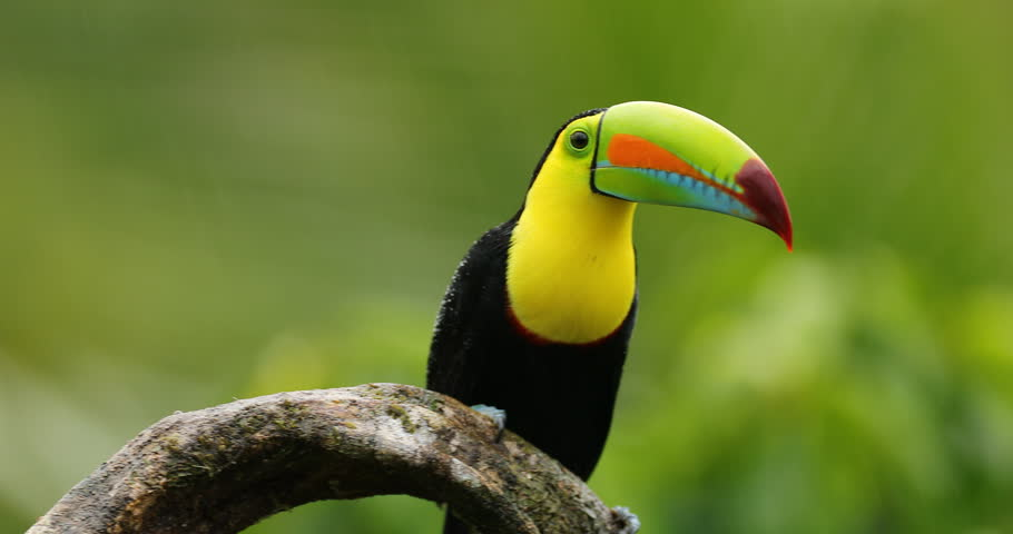 Keel-billed Toucan, Ramphastos sulfuratus, sitting on the branch in the forest. Bird with big bill. Wildlife scene from tropic nature. Birdwatching of Costa Rica, Central America.