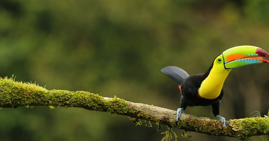 Keel-billed Toucan, Ramphastos sulfuratus, sitting on the branch in the forest, Mexico. Bird with big bill. Wildlife scene from tropic nature. Birdwatching of Costa Rica, Central America. | Shutterstock HD Video #22468090