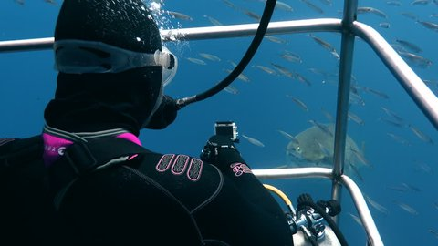 Great diving with great white sharks in the Pacific ocean near the island of Guadalupe. Mexico.